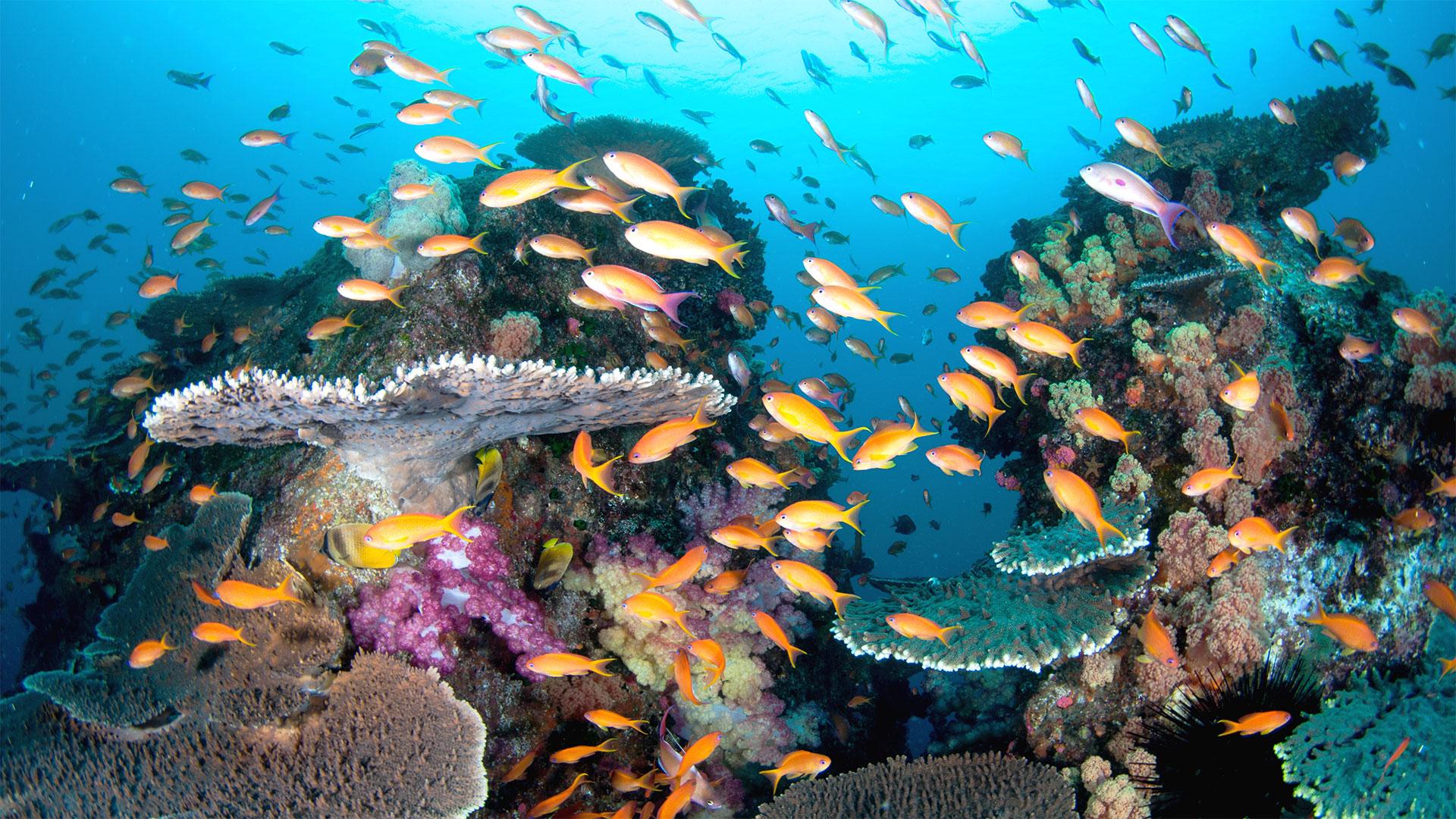 ダイビング水中写真:沖ノ島キンギョハナダイ