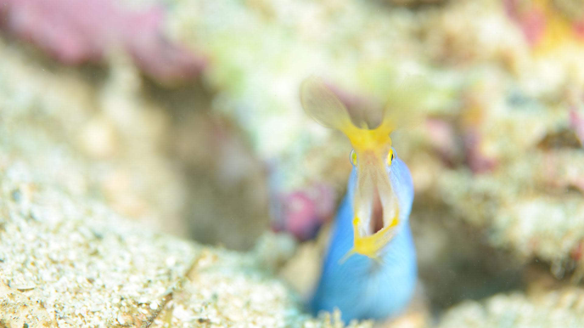 ダイビング水中写真:ハナヒゲウツボ